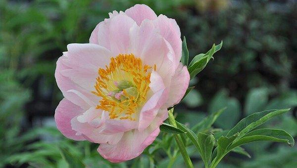 Rose G.